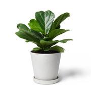 Zimmerpflanze 'Die Eindrucksvolle'