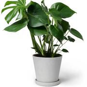 Zimmerpflanze 'Der Stilvolle'