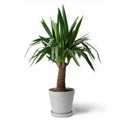 Zimmerpflanze 'Der Markante'